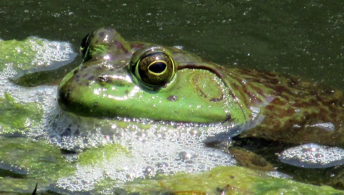 bullfrog in pond
