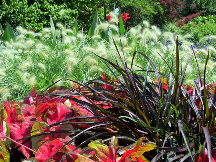feathertop pennisetum grasses and caladium
