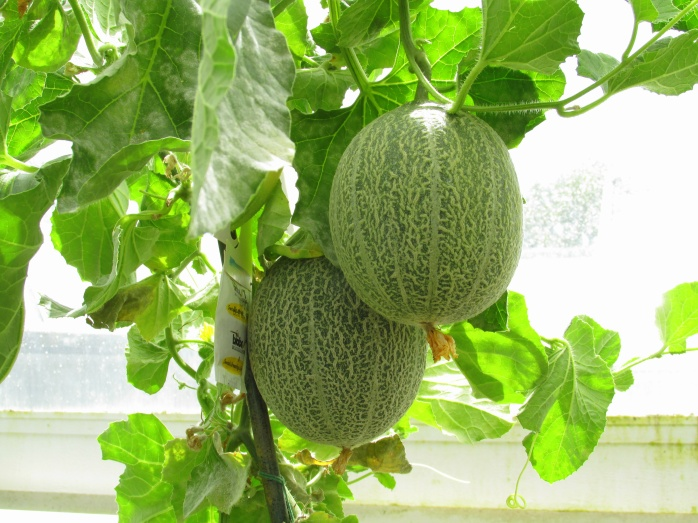 hanging melons