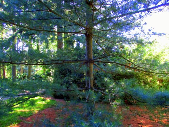 layered pine