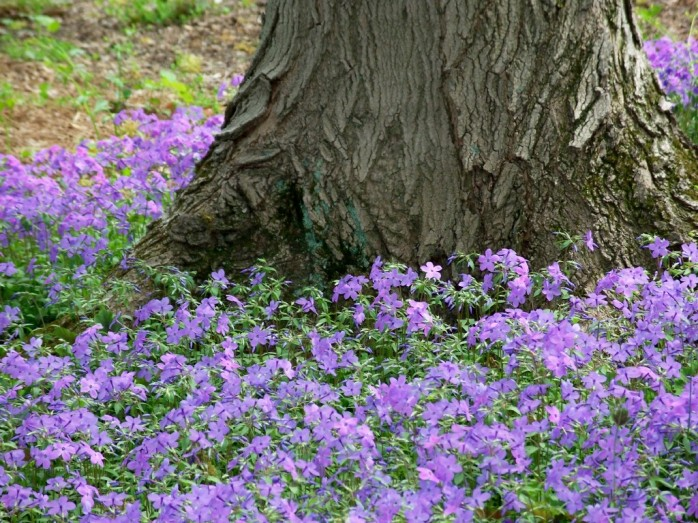 phlox around tree trunk