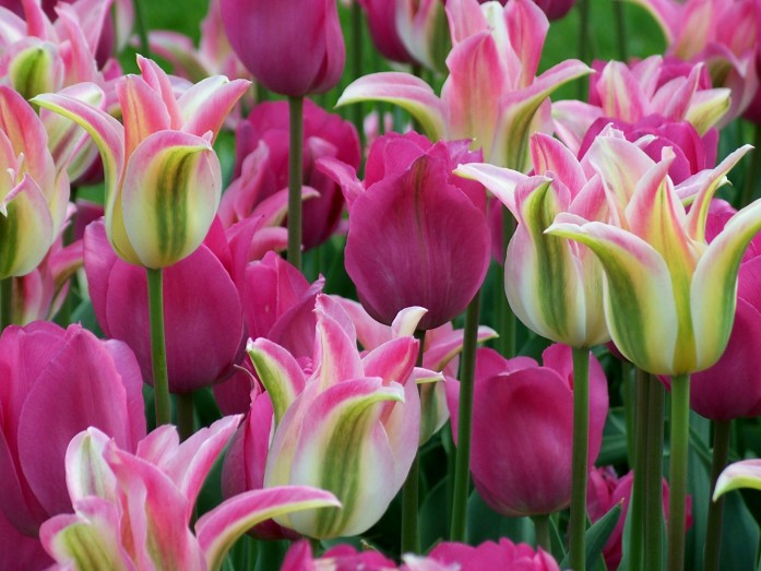 pink and green tulips