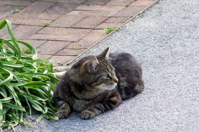 varmint cat