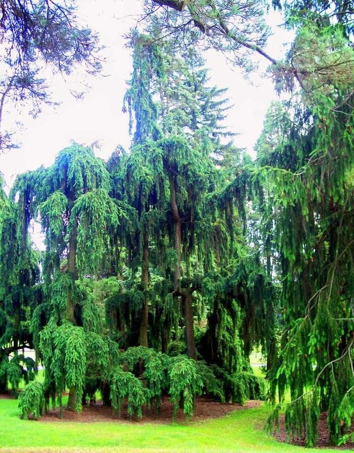 drapey trees