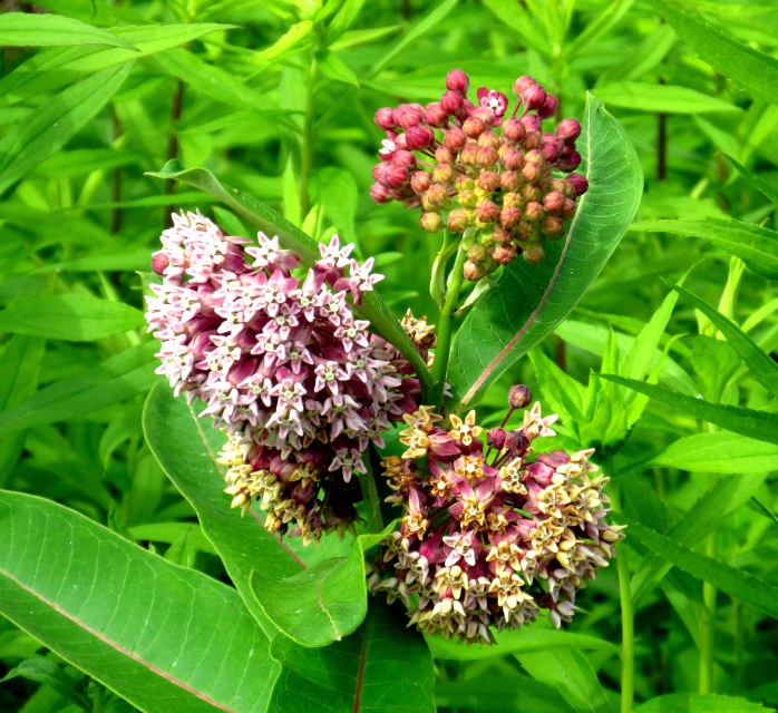 milkweed in meadow