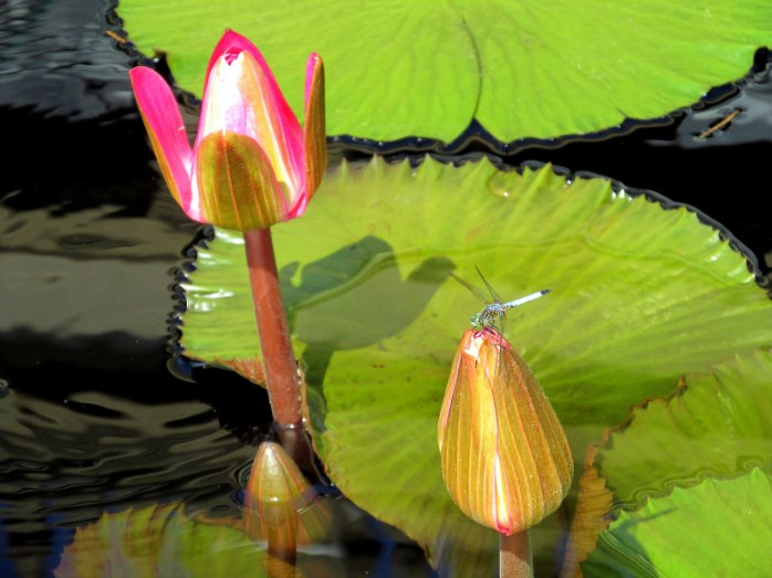 'Rosade Noche' lilypads with dragonfly