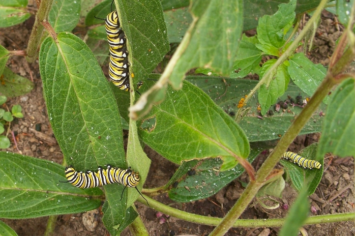 three monarch butterfly (Danaus plexippus) caterpillars on asclepias, Sept 2012