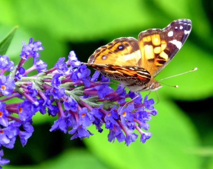 American Lady butterfly (Vanessa virginiensis) on buddleia, 14 Aug
