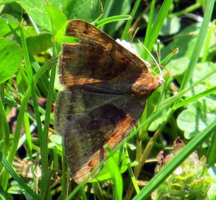 clover lopper (Caenurgina crassiuscula) moth, Aug 2014