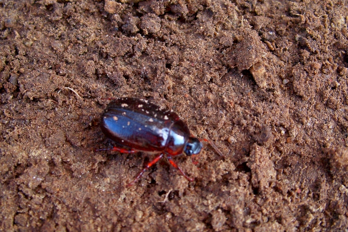 beetle in soil, April 2012