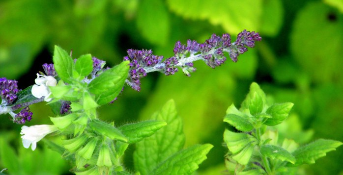 buddleia and lemon balm, 6 Aug