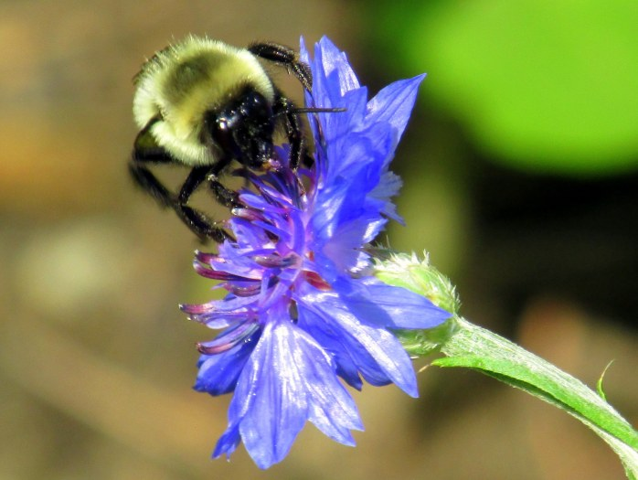 bumblebee on annual bachelor's button, 6 Aug