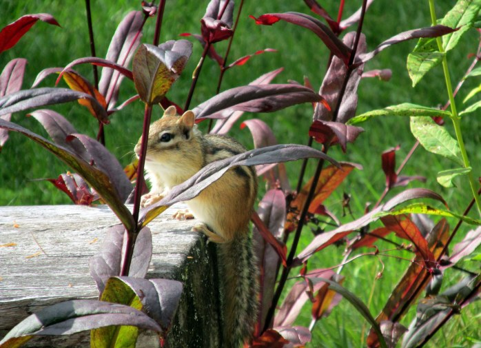 chipmunk on bench with penstemon, 6 Sept