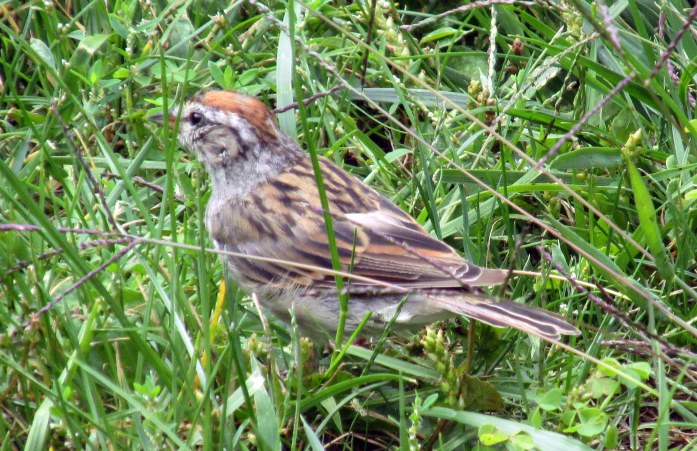 chipping sparrow, 31 Aug