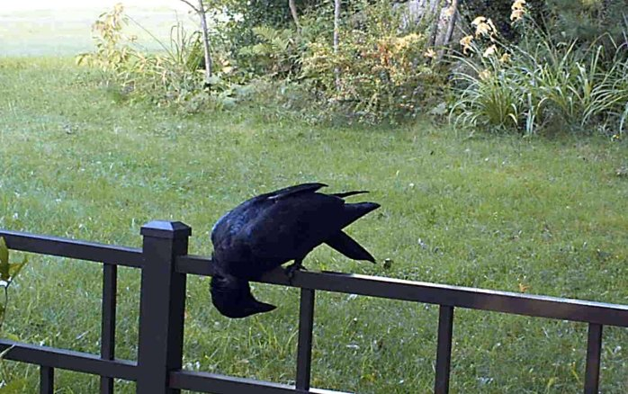 crow on motion camera, 29 Aug
