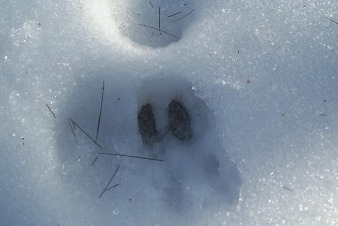 deer track, Jan 2012