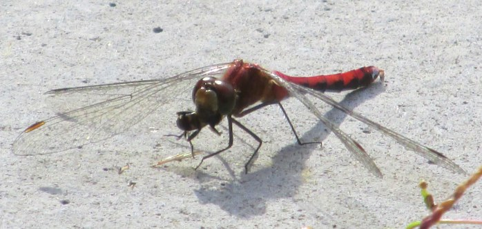 dragonflywithpreyE10Sept2014