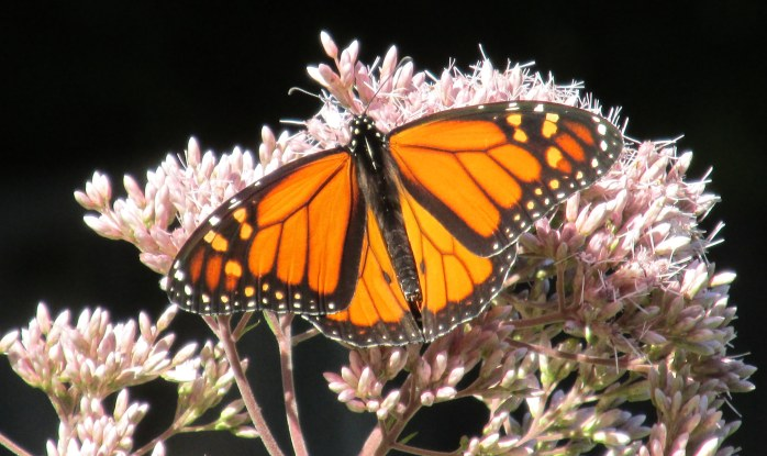 first monarch seen in garden, 30 Aug 2014