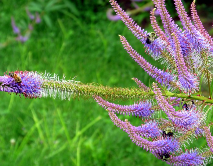 5 bees on veronicastrum, 1 Aug