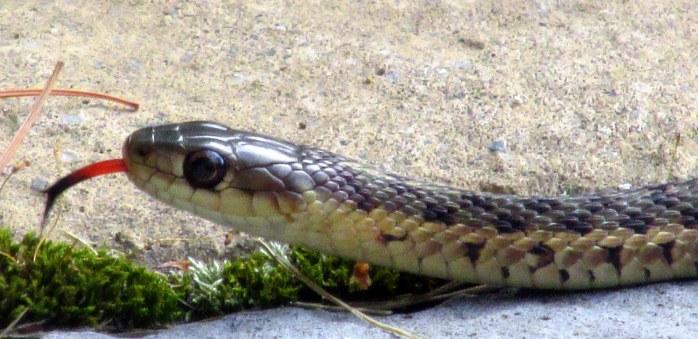 garter snake, 3 Aug