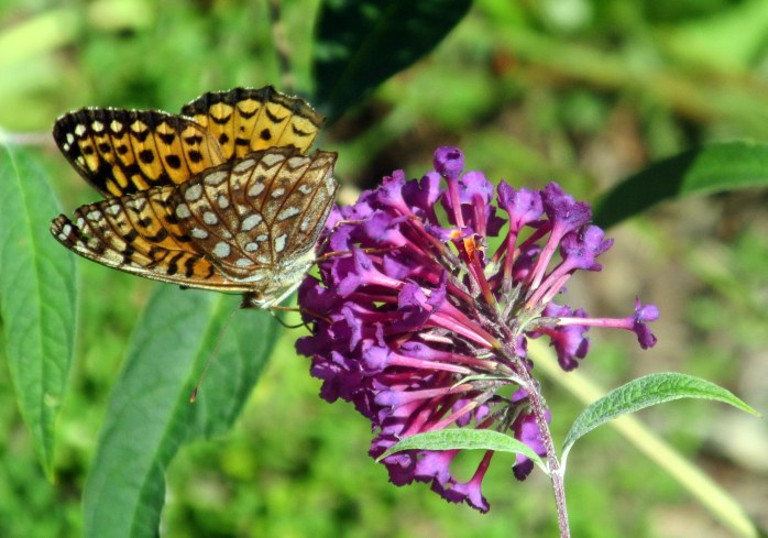 fritillary butterfly on buddleia, 1 Sept