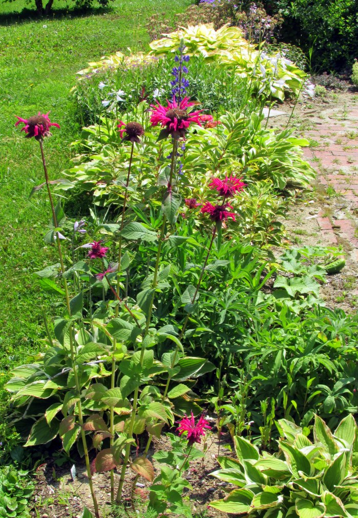 monarda, lupine, hostas, 12 Aug