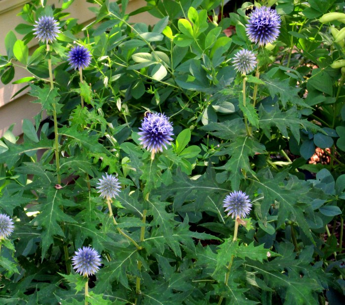 echinops in bloom, 9 Aug