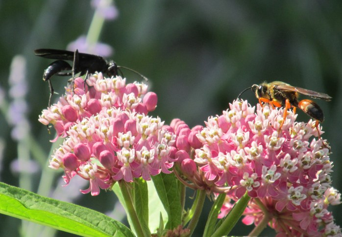 great black wasp and great golden digger on asclepias, 5 Aug 2014