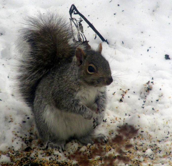 grey squirrel, Dec. 2013
