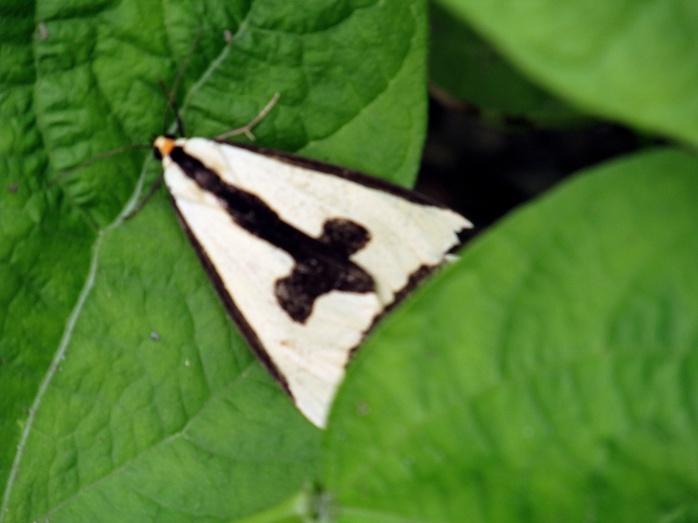Haploa Clymene moth, July 2013