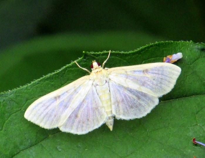 Herpetogramma abdominalis moth, Aug 2014