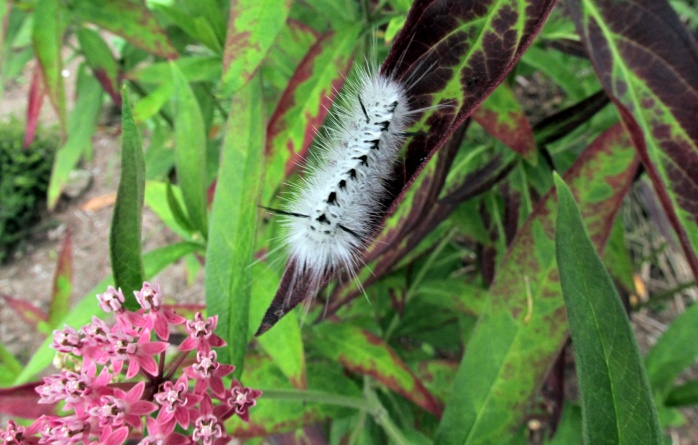 hickory tussock moth (Lophocampa caryae) caterpillar on asclepias, Aug 2013