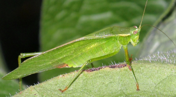katydid on comfrey, Aug 2013