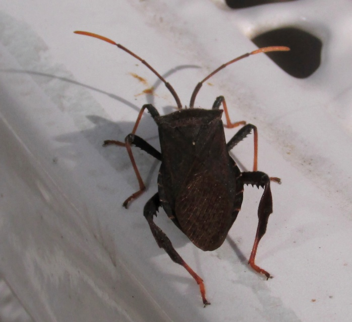 Leaf-footed bug (Acanthocephala Terminalis) on patio table, Sept. 2013