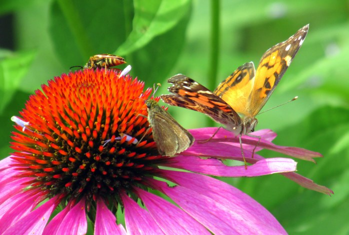 trifecta: longhorn beetle, skipper butterfly, and American Lady butterfly on echinacea, July 2014