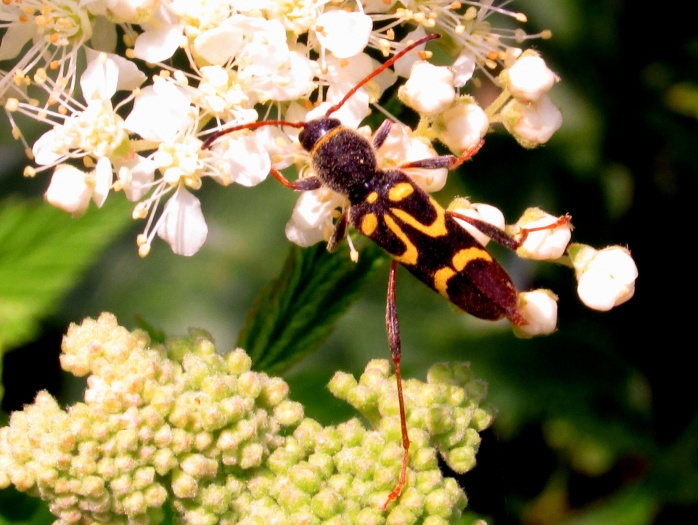 longhorned beetle (Clytus ruricola) on filipendula, July 2014