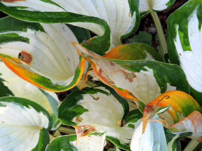 'Loyalist' hosta yellowing, 24 Aug