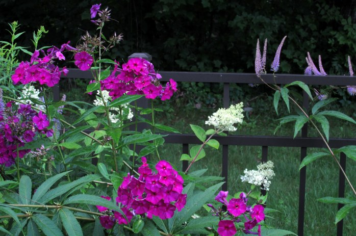 magenta phlox and white hydrangea, 7 Aug