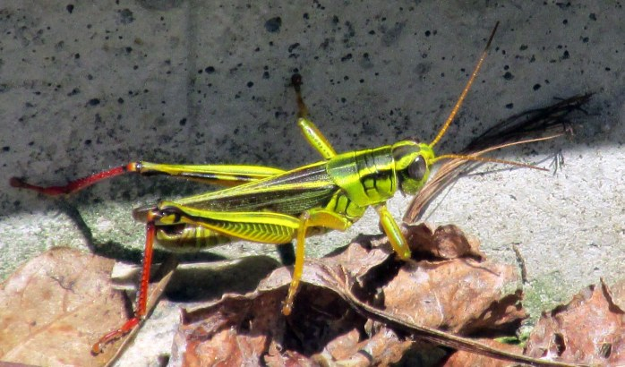 Melanoplus bivittatus femoratus (two-striped grasshopper) and friend, 6 Aug