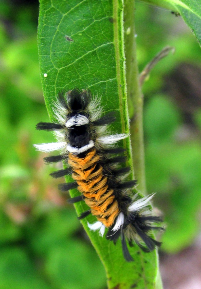 milkweed tussock moth caterpillar on asclepias, 1 Sept