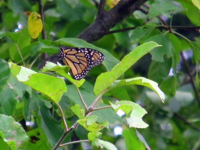 monarch butterfly resting in apple tree, Sept 2014