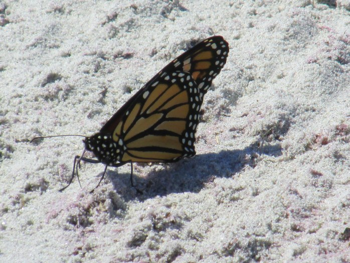 monarch on Pine Point Beach, ME, 29 Aug 2014