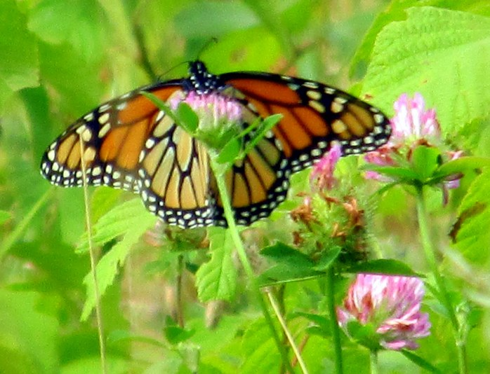 monarch on red clover, NH, 23 Aug 2014