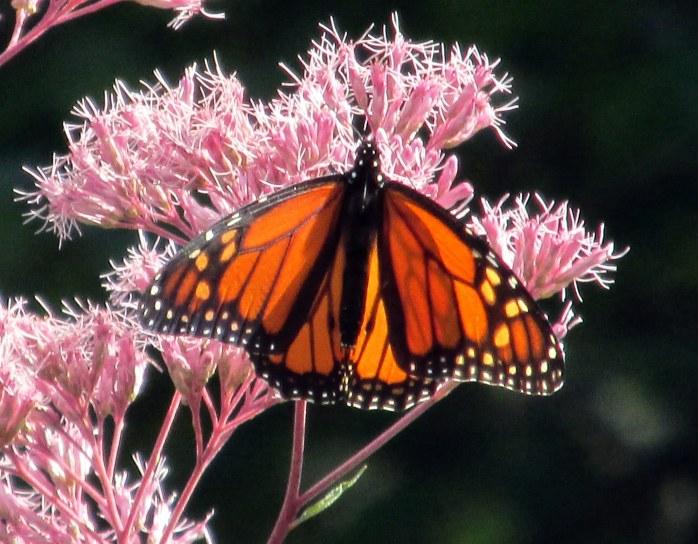 monarchbutterflyonjoepyeweedwingsopen10Sept2014
