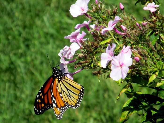monarch on pink phlox, NH, 30 Aug 2014