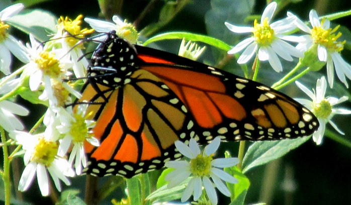 monarch on white aster, NH, 30 Aug 2014