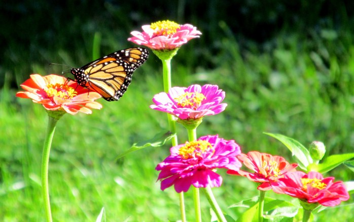 monarch butterfly on zinnia, 7 Sept 2014