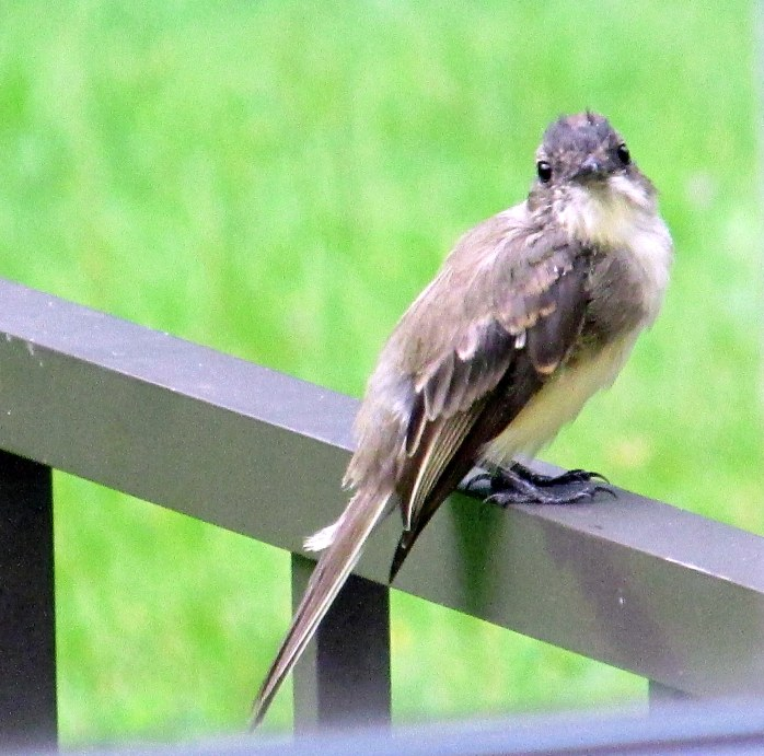 phoebe on fence, 31 Aug