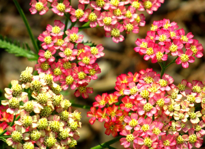 'Summer Pastels' yarrow, 5 Sept