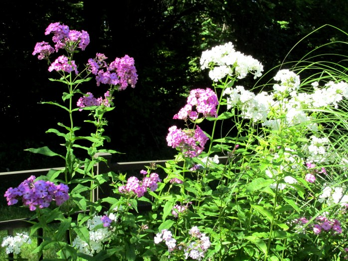 purple and white phlox, 26 Aug